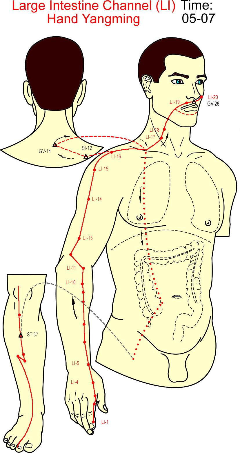 meridian usus besar - large intestine